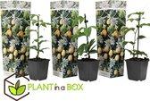 PLANT IN A BOX - Set van 3 Passiflora Edulis - Passievrucht - Pot ⌀9 cm - Hoogte ↕ 25 - 40 cm