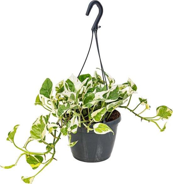 Scindapsus 'N-Joy' in hangpot per stuk | Epipremnum - Kamerplant ⌀17 cm - ↕20 cm
