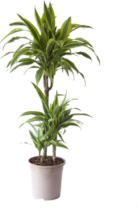 Megaplant.nl drakenbloemboom