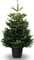 Koopjetuinspul Nordmann Kerstboom - ca 175 tot 200 cm - Echte Kerstboom - In pot