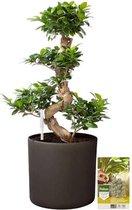 Pokon® Ficus Bonsai / Chinese Vijg incl. watermeter en voeding - in Mica Era Pot Donker Grijs - hoogte ↕70 cm