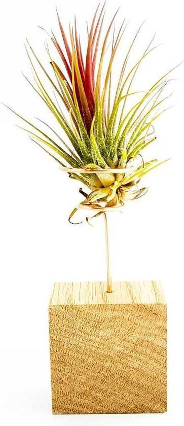 luchtplantje tillandsia ionantha rood standaard (Airplants)