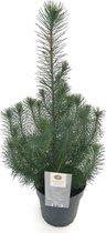 Kerstboompje Pinus pinea 'Silver Crest' - 60 cm hoog - potmaat 17 cm - 2 stuks