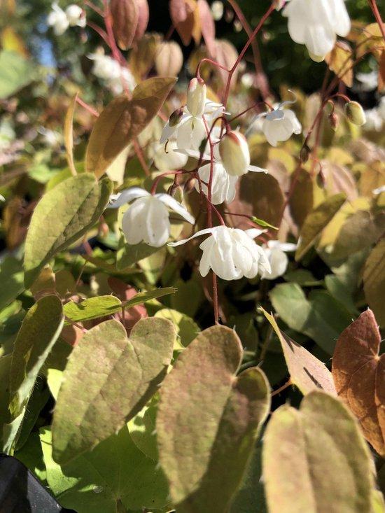 6 x Epimedium youngianum 'Niveum' - Elfenbloem - P9 Pot (9 x 9cm) - Dima Vaste Planten