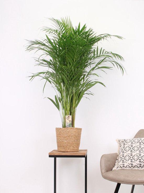 Kwekerij Akker plant - Areca palm in mand 120cm hoog - 21cm potmaat - Grote kamerplant - Rieten mand