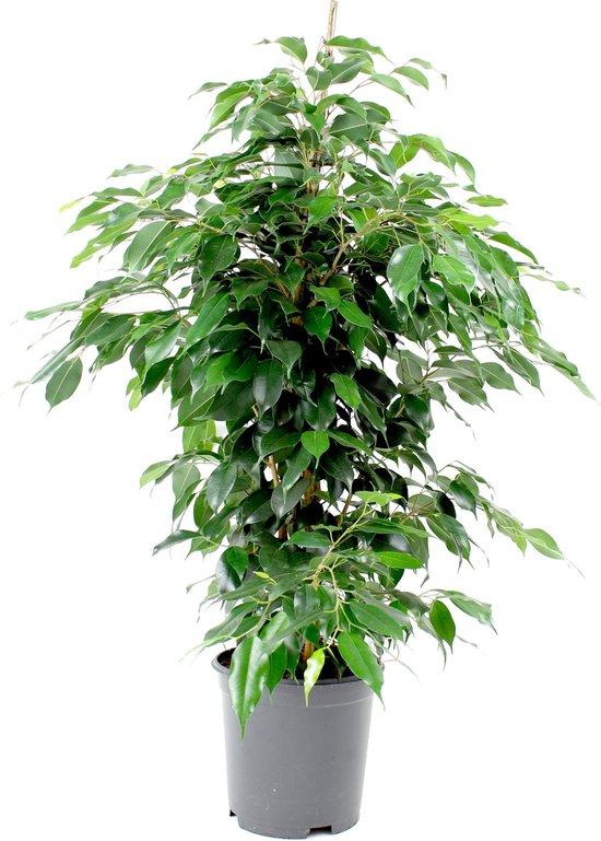Ficus Benjamina Danielle (Treurvijg) - Hoogte ↕100 cm | in Kwekerspot ⌀20 cm -