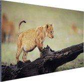 Jong leeuwtje in Kenia Aluminium 60x40 cm - Foto print op Aluminium (metaal wanddecoratie)