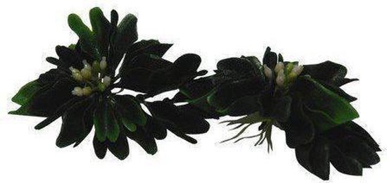 Lucky Reptile Turtle Plant - Water Hyazinth with flower (6 pcs.)