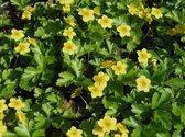 10 x Waldsteinia Ternata - goudaardbei