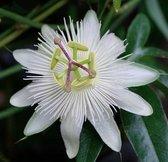 Passiflora caerulea 'Constance Elliot'; Totale hoogte 60-80cm incl. 2 Ltr. pot   Klimplant met Prachtige bloemen   Bloeit van April t/m September