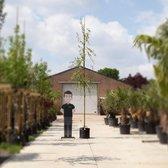 Treurwilg - Salix sepulcralis 'Chrysocoma' 180 - 200 cm stamhoogte (10 - 14 cm stamomtrek)