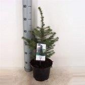 Picea Omorika; Totale hoogte 50-60cm incl. Ø 19cm pot | Wordt vaak gebruikt als Kerstboom
