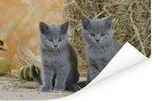 Twee Britse korthaar kittens met op de achtergrond hooi Poster 60x40 cm - Foto print op Poster (wanddecoratie woonkamer / slaapkamer) / Huisdieren Poster