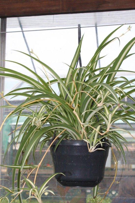 Graslelie - Chlorophytum Vittatum - Sprietenplant - Hangplant - 40 cm