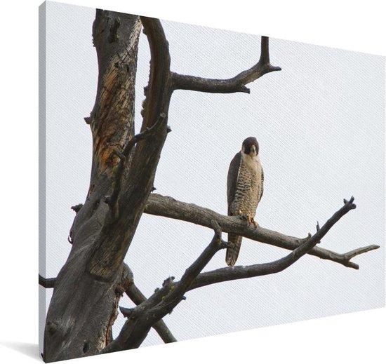 Een slechtvalk op de tak van een dode boom Canvas 180x120 cm - Foto print op Canvas schilderij (Wanddecoratie woonkamer / slaapkamer) XXL / Groot formaat!