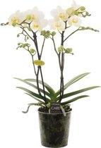 Opti-Multi Wit Orchidee Cadeau
