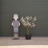 Krentenboom meerstammig - 'Amelanchier lamarckii' 150 - 175 cm totaalhoogte
