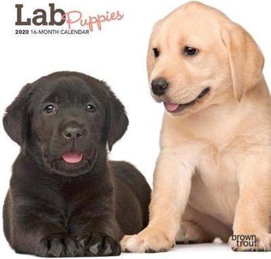 Lab Puppies 2020 Mini Wall Calendar