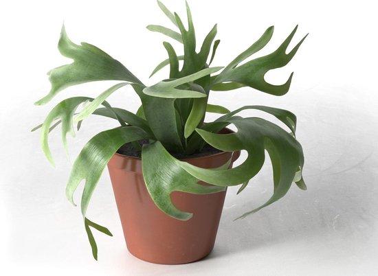 Jonge Hertshoorn plant in 12cm kwekers pot