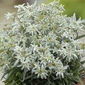 12 x Leontopodium alpinum - Edelweiss in 9x9cm pot (stuksprijs €2,99)