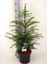 Kerstboom - Picea Omorika; Totale hoogte 60-80cm incl. Ø 23cm pot | A1-Kwekers- Kwaliteit
