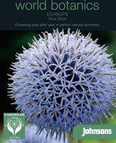 World Botanics - Kogeldistel Blue Glow (Echinops)