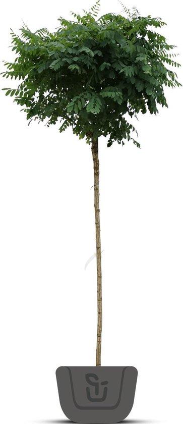Bolacacia - Robinia pseudoacacia Umbraculifera   Stamomtrek: 16-18 cm   Stamhoogte: 220 cm