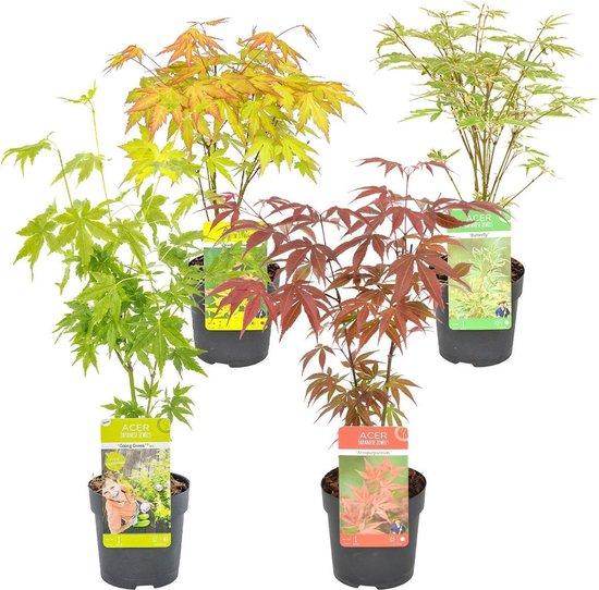 Japanse Esdoorn MIX van 4 stuks| Acer Palm. - Buitenplant in kwekerspot ⌀10.5 cm - ↕30-35 cm
