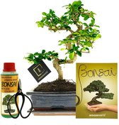 Bonsaiworld Bonsai Boom XL - 6-Delige Set - 12 jaar oud - ↕️ 30-35 cm