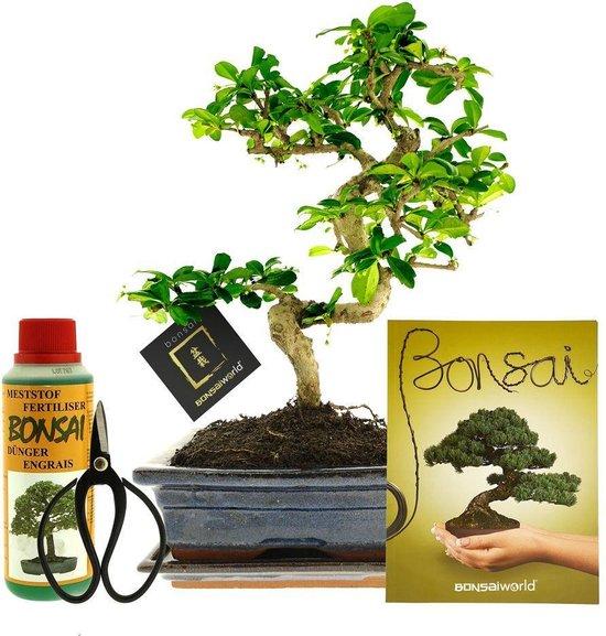 Bonsaiworld Bonsai Boom XL - 6-Delige Set - 12 jaar oud - ↕️ 30-35 cm