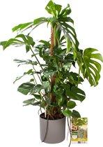 Pokon® Monstera / Gatenplant incl. watermeter en voeding - in Mica Era Pot Grijs - hoogte ↕120 cm