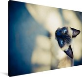 Een Siamese kat vanaf boven Canvas 60x40 cm - Foto print op Canvas schilderij (Wanddecoratie woonkamer / slaapkamer) / Huisdieren Canvas Schilderijen