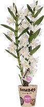 Orchidee van Botanicly – Bamboe Orchidee – Hoogte: 50 cm, 2 takken, wit-roze bloemen – Dendrobium nobile Harukaze