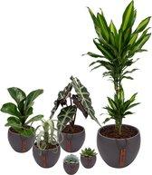 Set van 6 planten met bijpassende grijze plantenpotten – kamerplanten voor binnen met verschillende groottes - Mapot