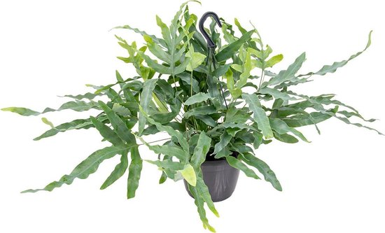 Blauwvaren in Hangpot per stuk | Phlebodium 'Blue Star' - Kamerplant ⌀18 cm - ↕40-45 cm