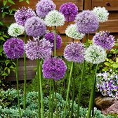 12x Allium stipitatum 'Fantasia' - Sierui Mix - Paars Wit - Winterhard - 12 bloembollen Ø 12-14 cm