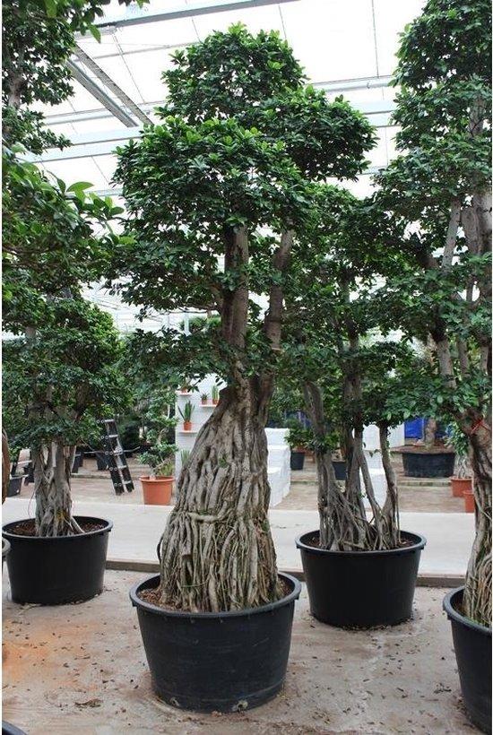 Bol Com Ficus Microcarpa Ginseng Bonsai 365 375cm Bonsai