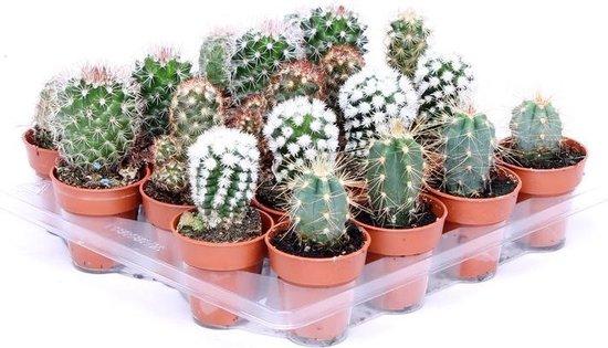 Cactus woestijnplant - Cactussen 3-6cm - Mini cactus