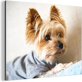Yorkshire Terrier met een truitje aan Aluminium 80x60 cm - Foto print op Aluminium (metaal wanddecoratie)