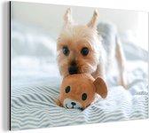 Yorkshire Terrier speelt met speelgoed Aluminium 90x60 cm - Foto print op Aluminium (metaal wanddecoratie)