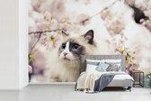 Fotobehang vinyl - Ragdoll kat tussen roze bloemen breedte 600 cm x hoogte 400 cm - Foto print op behang (in 7 formaten beschikbaar)