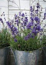 2 stuks Tuinschilderij Lavender in Pot 50x70cm