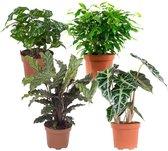 Choice of Green  - plantenmix van 4: Ficus Green Kinky, Koffieplant, Skeletplant, Calathea - Kamerplant in Kwekers pot ⌀12 cm  -  Hoogte ↕23 cm