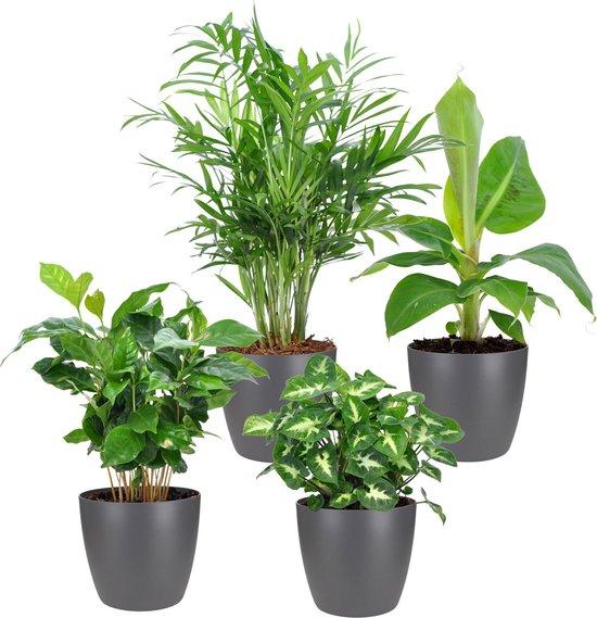 Mix van 4 tropische kamerplanten | Musa - Coffea - Syngonium - Chamaedorea | Incl. grijze ELHO sierpot - ↑ 25-30cm - Ø 12cm
