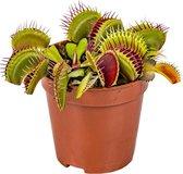 Kleine Vleesetende plant | Dionaea per stuk - Binnen- en buitenplant in kwekerspot ⌀6 cm - ↕10 cm