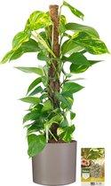 Pokon® Scindapsus Epipremnum incl. watermeter en voeding - in Mica Era Pot Licht Grijs - hoogte ↕80 cm