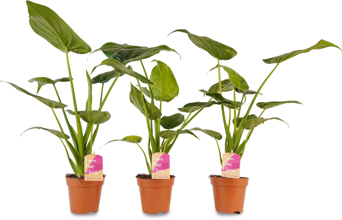 Duurzaam geproduceerde Kamerplant van FAIR FLORA® - 3 x Olifantsoor - Hoogte: ca. 40 cm - Latijnse naam: Alocasia Cucullata