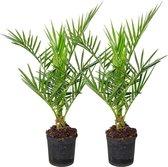 Phoenix 'Canariensis' per 2 stuks | Canarische dadelpalm - Buitenplant in kwekerspot ⌀15 cm - ↕55-65 cm