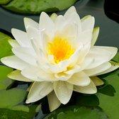 Nymphaea Marliacea Albida - Waterlelie wit-geel - ↑ 25-30cm - Ø 9cm
