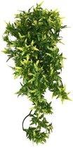 Komodo Croton Plant - 40 cm